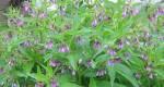 Comment préparer du purin de consoude pour la pelouse