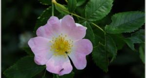 Huile de nuit régénératrice à la rose musquée