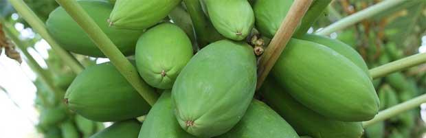 Lotion à la papaye verte